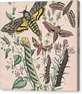 Sphingide Canvas Print