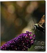 Sphinx Moth On Butterfly Bush Canvas Print