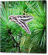 Sphinx Moth Canvas Print