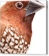 Spice Finch Lonchura Punctulata Portrait Canvas Print