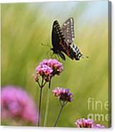 Spicebush Swallowtail Butterfly In Meadow Canvas Print