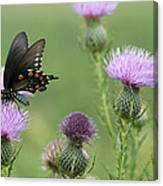 Spicebush Swallowtail Butterfly On Bull Thistle Wildflowers Canvas Print