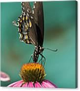 Spicebush Swallowtail Butterfly - Papilio Troilus Canvas Print