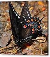 Spicebush Swallowtail Butterfly Preflight Canvas Print
