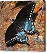 Spicebush Swallowtail Butterfly Canvas Print