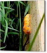 Spicebush Swallowtail Caterpillar Canvas Print