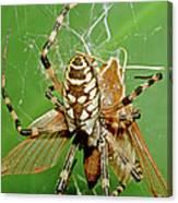 Spider Eating Moth Canvas Print