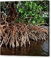 Spider Mangroves Oro Bay Canvas Print