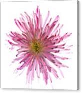 Spider Mum Flower Against White Canvas Print