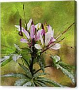 Spider Plant Canvas Print
