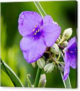 Spiderworts Canvas Print