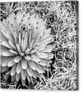 Spiky Canvas Print