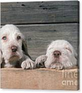 Spinone Puppies Canvas Print