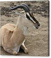Spiral Horned Antelope Canvas Print