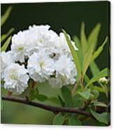 Spirea Blossom Canvas Print