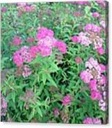 Spirea In Bloom Canvas Print