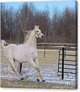 Spirited Horse Canvas Print