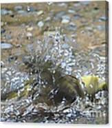 Splish Splash Bird Bath Canvas Print