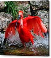 Splish Splash - Red Ibis Canvas Print