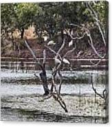 Spoonbill Gathering Canvas Print