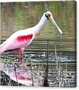 Spoonbill In The Pond Canvas Print