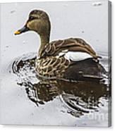 Spot-billed Duck  Canvas Print