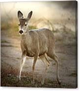 Spotlighted Mule Deer Canvas Print