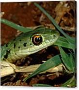 Spotted Bush Snake Philothamnus Semivariegatus Canvas Print
