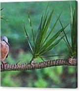Spotted Dove Canvas Print