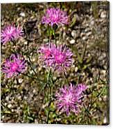 Spotted Knapweed Canvas Print