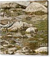 Spotted Sandpiper Pictures 36 Canvas Print