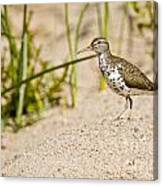 Spotted Sandpiper Pictures 45 Canvas Print