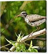 Spotted Sandpiper Pictures 48 Canvas Print