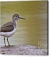 Spotted Sandpiper Pictures 51 Canvas Print