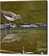 Spotted Sandpiper Pictures 61 Canvas Print