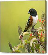 Spotted Towhee Canvas Print