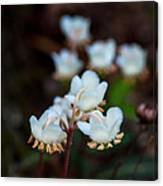 Spotted Wintergreen 4 Canvas Print