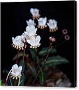 Spotted Wintergreen 5 Canvas Print