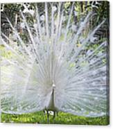 Spreading Peacock Display Canvas Print