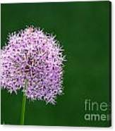 Spring Allium Canvas Print