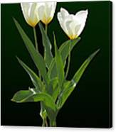 Spring - Backlit White Tulips Canvas Print