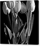 Spring Beauties Bw Canvas Print