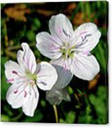 Spring Beauty Wildflowers - Claytonia Virginica Canvas Print