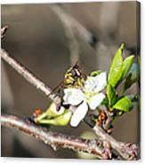 Spring Bee On Apple Tree Blossom Canvas Print