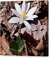 Spring Bloodroot Wildflower 2 Canvas Print