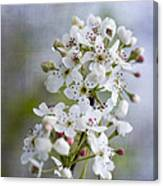 Spring Blooming Bradford Pear Blossoms Canvas Print