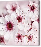 Spring Cherry Blossom Canvas Print