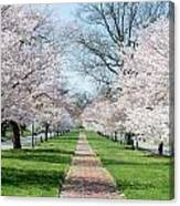 Spring Cherry Trees Canvas Print