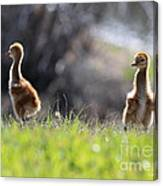 Spring Chicks In The Sunshine Canvas Print