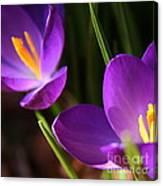 Spring Crocus Pair  Canvas Print